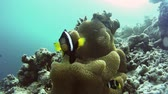 clownfish : Clownfish surrounding their beautiful anemone at an islands coral reef