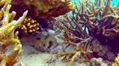 sasanka : Porcupine fish hiding under a coral