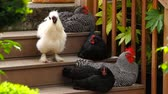 galinha : v4. A bantam and four chickens on wooden stairs.