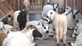 ovelha : Sheeps in farm Stock Footage