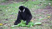 facial : White handed Gibbon or Lar Gibbon. HD Stock Footage