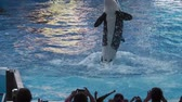 katil : Orlando, Florida, USA - April 22, 2012: Tilikum, the killer whale, performs in the shamu show at Seaworld. The orca is popular for the documentary Blackfish.