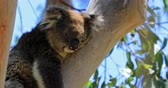 cinereus : Close up of adult male koala, Phascolarctos cinereus, sleeps lying on branch of eucalyptus in Yanchep National Park in Western Australia. Yanchep has been home to a colony of koalas since 1938. Stock Footage