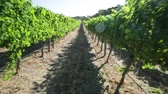 маргарита : POV walking in a rows of white grapes in a vineyards. Scenic landscape of Wilyabrup in famous Margaret River Wine Region, Western Australia, popular for wine tasting tours.Sunny day with blue sky