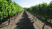 маргарита : Vineyard POV walking with rows of white grapes in Wilyabrup in Margaret River, Western Australia.