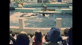 katil : Miami, Florida, United States - Circa 1978: Seaquarium killer whales feeding for touristic show on holiday at Miami in 70s. The historical United States of America in 1970s. Stok Video