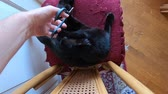 gonosz : SLOW MOTION: cutting claws of a black cat on its chair. Cat rebelling and attacking to defend its claws from cutting. The concept of animal aggressiveness. Stock mozgókép