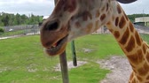 camelopardalis : A giraffe stretching for food with its tongue out. Palm Springs in Palm Beach, Florida, United States. Stock Footage