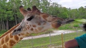 zsiráf : A giraffe stretching for eating lettuce with its tongue out. Palm Springs in Palm Beach, Florida, United States. Stock mozgókép