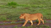 плотоядный : African lioness walking on the grass of Serengeti National Park, Tanzania in Africa.