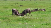 wildebeest : African males of blue wildebeests fight in the grass of Serengeti National Park, Tanzania in Africa. Connochaetes taurinus species.