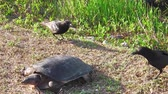травоядный : Everglades softshell turtle protecting its eggs from the preying attack of the crows in the Everglades National Park, Florida, United States of America. Apalone Ferox species.
