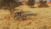 namib desert : wildlife oryx on red desert sand in Namib Solitaire desert of the Namibia Africa. Stock Footage