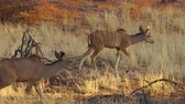 namib desert : wildlife females of kudu on red desert sand in Namib Solitaire desert of the Namibia Africa.