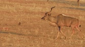 antilop : wildlife male of kudu on red desert sand in Namib Solitaire desert of the Namibia Africa.