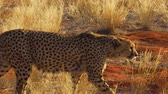 cheetah : Namibian cheetah moving in red desert sand in Namib Solitaire desert of the Namibia Africa.