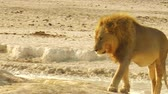 namib desert : African lion walking at sunset in Etosha National Park, Namibia, Africa.