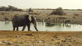 five : elephant walking in Etosha National Park of Namibia at a water pool with zebras and antelopes drinking.