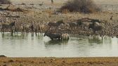 sawanna : zebras and oryxes drinking in Etosha National Park at a water pool in Namibia. Wideo