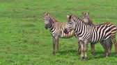 ngorongoro : An African zebras eating fresh grass in the savanna of Ngorongoro Crater, Tanzania in Africa.