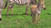 ngorongoro : African zebras herd with baby zedra on the grass savanna of Ngorongoro Crater, Tanzania in Africa. Stock Footage