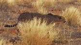 cheetah : Two cheetahs walking on red desert sand inside the remote Madikwe Game Reserve, South Africa, on the border with Botswana.