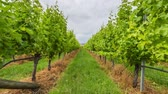 bağcılık : Vineyard field in the area between Richmond, Cambridge and Hobart in Tasmania, Australia.