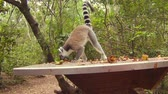 catta : A Ringtail Lemur of Madagascar. Lemur Catta species eating fruits in the forest in Africa. Stock Footage