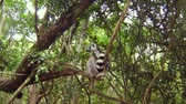 catta : A ringtail lemur of Madagascar on the top of a tree in wild in Africa. Stock Footage