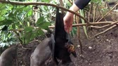 deslizamento : Fruit bat eating fruit upside down, Wahlbergs epauletted, epomophorus wahlberg, is a species of megabat Pteropodidae in the family who is in South Africa.