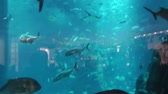 unido : Dubai, United Arab Emirates - May 1, 2013: big aquarium fishes in the Dubai aquarium with sharks and tunas swimming. Stock Footage