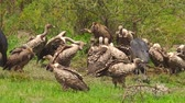 game reserve : White-backed vultures eating a dead carcass the Ngorongoro Conservation Area of Tanzania, Africa. Stock Footage
