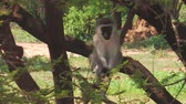 sedět : Vervet Monkey. Blue testicles monkey on the tree, Chlorocebus Pygerythrus species living in the Lake Manyara National Park, Tanzania, Africa. primate standing on the tree in nature forest.
