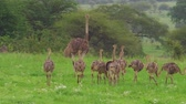 struś : African female ostrich with chicksin the grassland of the Tarangire National Park of Tanzania, Africa. Wideo