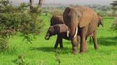 pachyderm : young African elephant calf in Tarangire National Park of Tanzania in Africa. Stock Footage