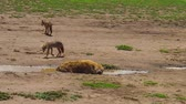 ngorongoro : Spotted Hyena and Golden Jackals in Ngorongoro Conservation Area, Tanzania in Africa.