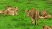 ngorongoro : close up of African lion pride in the grassland of the Ndutu Area of Ngorongoro of Tanzania, Africa. Panthera Leo in nature habitat. The lion is part of Big Five. Stock Footage