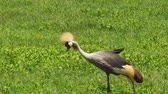 balearica : African Gray Crowned-Crane in the Ngorongoro Crater national park of Tanzania, Africa. Balearica regulorum species of bird. Stock Footage