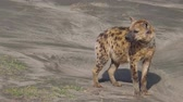クルーガー : Spotted Hyena standing in Serengeti National Park, Tanzania in Africa. Species Crocuta crocuta along the dirt road in Serengeti National Park. Iena ridens or hyena maculata outdoor. 動画素材