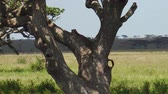 nature reserve : Leopard cub on a tree in Serengeti National Park, Tanzania, Africa. African Leopard species Panthera Pardus. Stock Footage