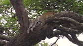 ngorongoro : Leopard on a tree in Ndutu Area of Ngorongoro, Tanzania, Africa. African Leopard species Panthera Pardus. The leopard is part of the popular Big Five. Stock Footage