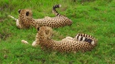 ngorongoro : Two cheetahs in Ndutu Area of Ngorongoro in Tanzania, Africa. African big cats: Acinonyx jubatus, family of African felids. Stock Footage