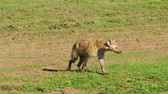 ngorongoro : Spotted Hyena moving in Ndutu Area of Ngorongoro, Tanzania in Africa. Stock Footage