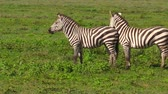 ngorongoro : two common African zebras in Ndutu Area of Ngorongoro of Tanzania in Africa. Plains zebra,or Equus quagga formerly Equus burchellii. Zebra belongs to horses and stands out for the unique black stripes Stock Footage