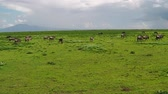 wildebeest : great annual migration of a herd of African Blue wildebeest grazing in Ndutu Area of Ngorongoro of Tanzania in Africa. Gnu antelope in the genus Connochaetes. Connochaetes taurinus species