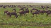wildebeest : African Blue wildebeests close up in the great annual migration of Ngorongoro Conservation Area of Tanzania in Africa. Gnu antelope in the genus Connochaetes. Connochaetes taurinus species