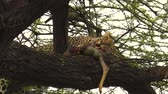 ngorongoro : Leopard on a tree feeding with its prey in Ngorongoro Conservation Area, Tanzania, Africa. African Leopard species Panthera Pardus. The leopard is part of the popular Big Five. Stock Footage