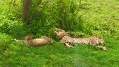 ngorongoro : Two young cheetah cubs with their mother resting on grassland in Ngorongoro Conservation Area, Tanzania in Africa. African big cats family: acinonyx jubatus. The cheetah is the fastest land animal. Stock Footage