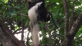 opice : Colobus Monkey in Arusha National Park, Tanzania. the name comes from the greek kolobos ,incomplete, and refers to the almost complete absence of the thumb.