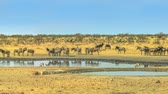 Намибия : Wide angle panorama of wild animals like zebras, hartebeests and springboks drinking at Nebrownii waterhole in savannah dry season. Etosha National Park in Namibia.